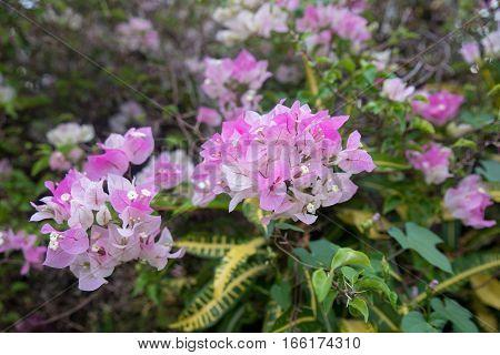 Beautiful bougainvillea flowers (Bougainvillea glabra choisy) soft focus