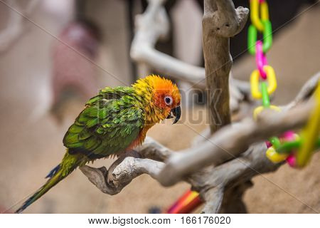 Sun fancy conure colorful parrot from the side with green feathers perched on branches