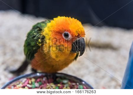 Sun fancy conure colorful parrot eating from bowl