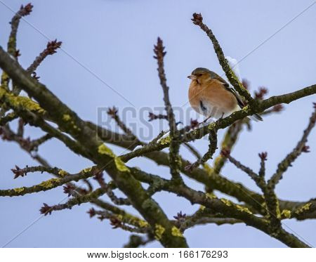 Male common chaffinch bird, fringilla coelebs, on a tree branch by winter