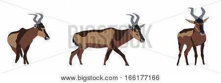 Group Of Three Red Hartebeest In Different Posings