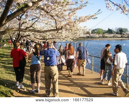 Washington DC, USA - April 3, 2007: People tourists taking images of cherry blossoms with sakura petals falling down