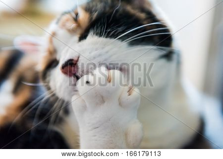 Macro closeup of calico cat licking paw