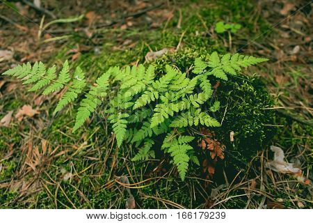 A rare species of plants. Fern in the Russian Federation is listed in the Red Book
