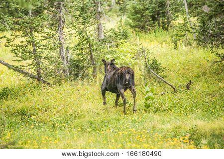 Moose running away in pine tree forest at Albion Basin Salt Lake City Utah