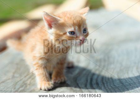 plaintive look of homeless ginger cat. Little cute golden brown kitten with blue eyes outdoors