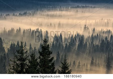 spruce trees in a foggy valley lightened by sun rays. view from the top