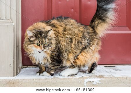 Angry calico maine coon cat with green eyes meowing standing outside by red door with snow