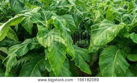 close up growth green tobacco leaf in farm