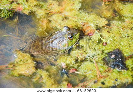 Large green toad frog sitting in dirty pond