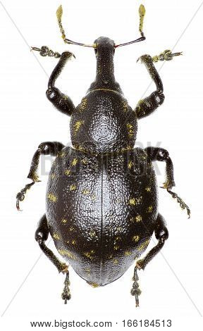 Snout Beetle Liparus on white Background  -  Liparus germanus (Linnaeus, 1758)