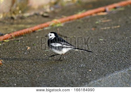 A pied wagtail striding across a concrete wall