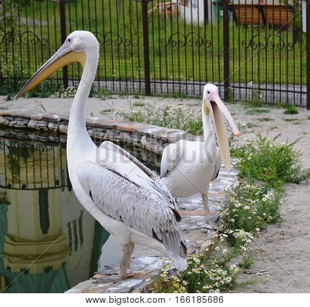 Pelicans are a genus of large water birds that makes up the family Pelecanidae