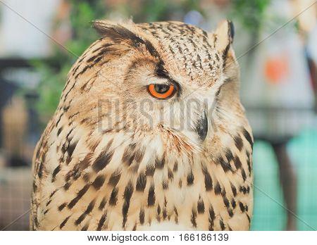 Close-up of Beautiful Eagle - Owl (Bubo bubo) in the Zoo