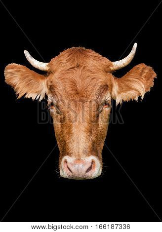 big head cow on a black background