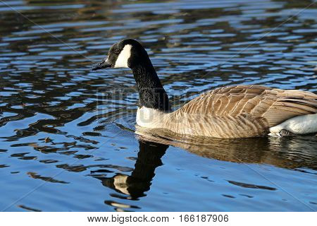 A Canada Goose swimming in a river with it's reflection beneath