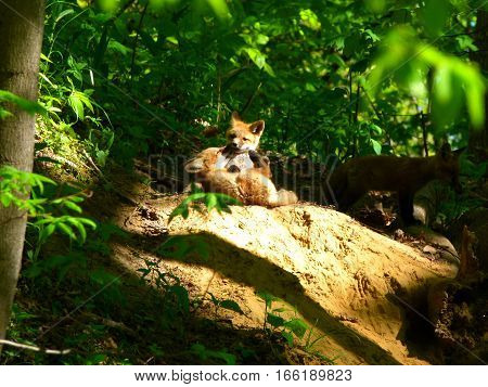 Wild baby foxes playing in the summer green woods.  Southern Indiana.
