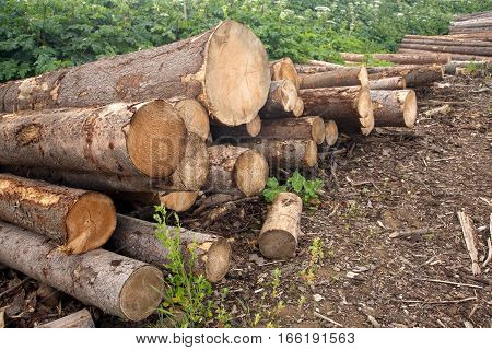 Many stacked in pile of pine logs against green plants diagonal view