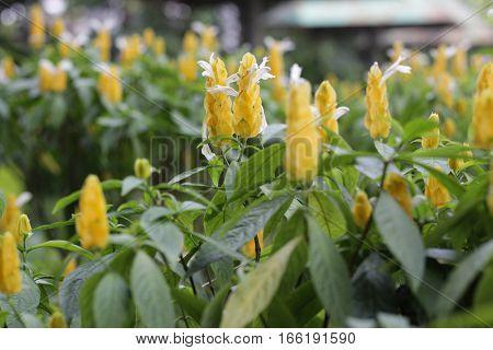 Pachystachys lutea lollipop plant and golden shrimp plant flower bokeh background in taman mini indonesia indah a series of images