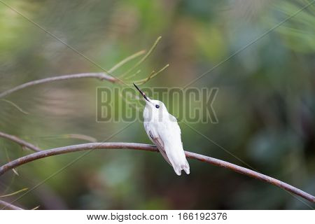 Rare Leucistic Anna's Hummingbird (Calypte anna) perched on a branch. Santa Cruz, California, USA.