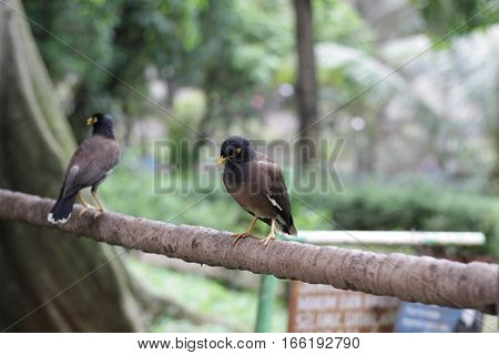 common myna (Acridotheres tristis) in taman mini indonesia indah a series of images