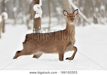 Young deer in forest in winter time