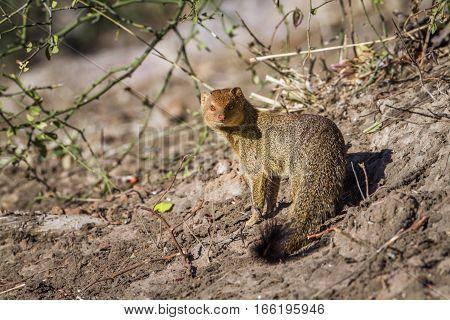 Slender mongoose in Kruger national park, South Africa ; Specie Galerella sanguinea family of Herpestidae