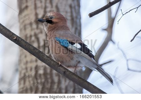 The photo shows jay on a branch