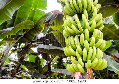 Photo picture of Green Bananas Hanging on Banana Tree