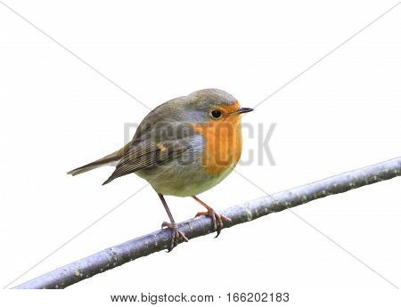 little red bird Robin sitting on a branch in the Park on a white isolated background
