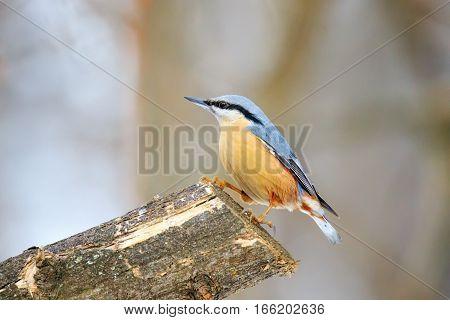 Nuthatche (Sitta europaea) small passerine birds belonging to the family Sittidae
