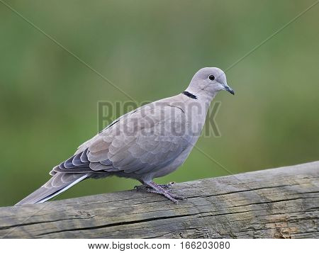 Eurasian collared dove resting with vegetation in the background