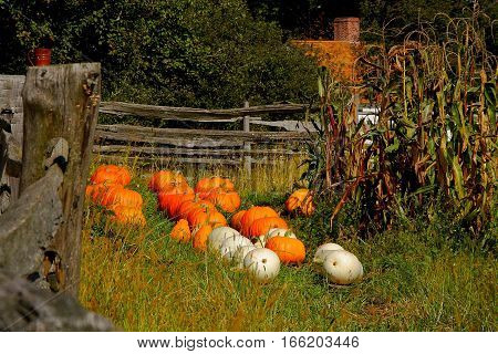 Pumpkin patch in New England on sunny day