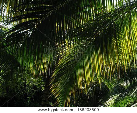 KERALA, INDIA. Green and fresh palm leaves, through the leaves the sun shines. Background.