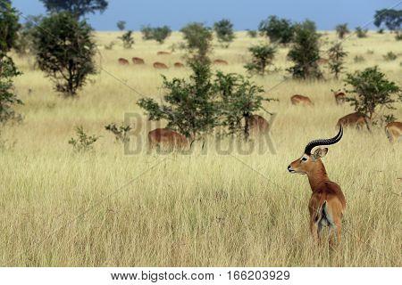 Ugandan Kobs (Kobus kob thomasi). Ishasha Queen Elisabeth Uganda