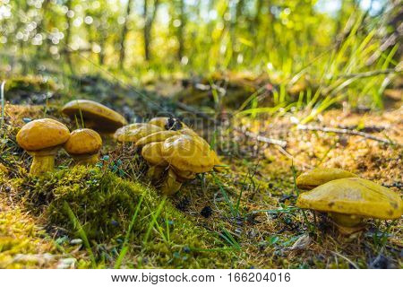 Greasers mushroom in the grass close up