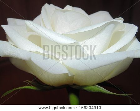 Sincerity, purity and chastity are some of the obvious meanings of this white rose