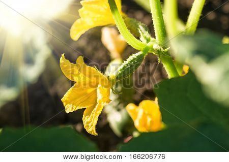 blooming ovary of young fresh organic vegetable growing cucumbers on the field. Spring agricultural background