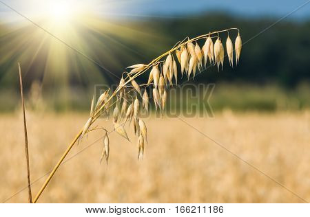 golden ear of oats against the blue sky foresta nd sun soft focus closeup agriculture background