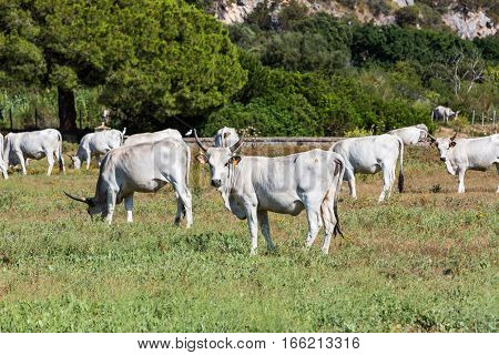 View of white Chianina breed cows on a tuscan field in Italy