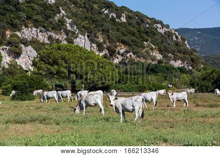 View of white Chianina breed cows on a tuscan field in Italy poster