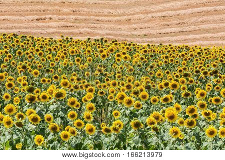 Sunflower Fields In The Tuscan Region San Quirico D Orcia In Italy