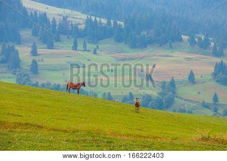 Mare and foal grazin in early morning on field amongst Carpathians