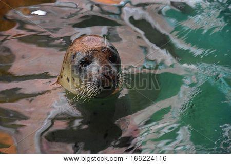 Seal Swimming In Water In An Aquarium