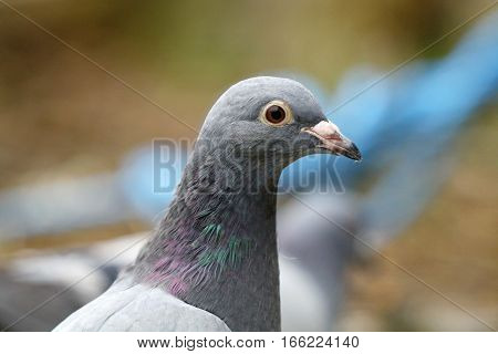 Portrait of a juvenile feral pigeon with pale plumage