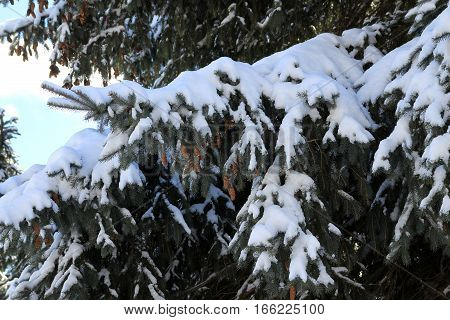 The fur tree branches covered by snow