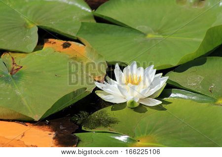 White waterlily on the water surface of pond