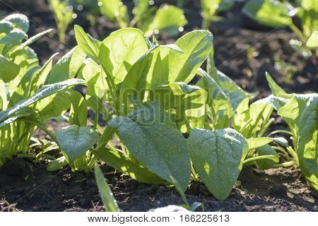 Spinach after watering in the vegetable garden.