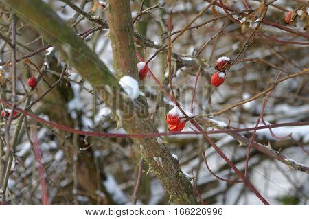 red rowanberry on leafless twigs covered by the snow