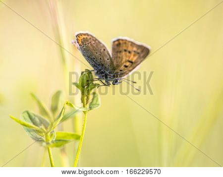 Brown Butterfly Sooty Copper On Colorful Bright Background
